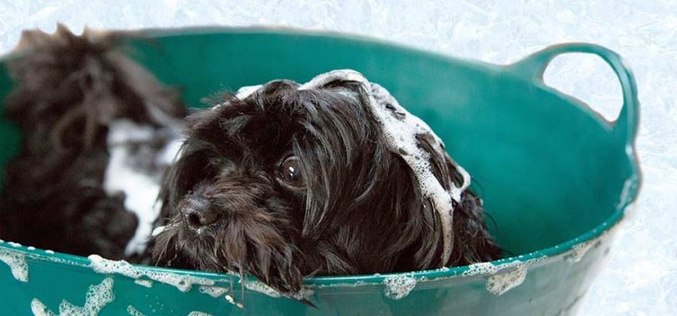 A dog being bathed in shampoo